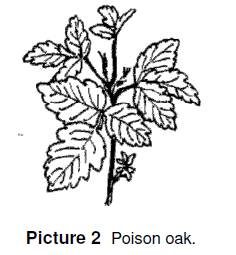 poison oak has three leaves with textured edges