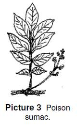 poison sumac has several leaves that grow off of a branch
