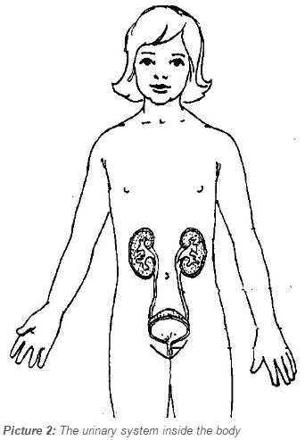 The urinary system inside the body
