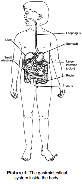 The gastrointestinal system inside the body
