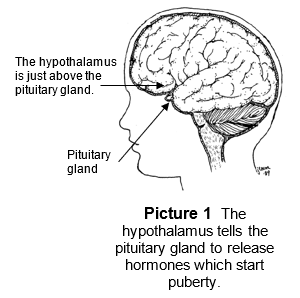 where the pituitary gland is located in the brain