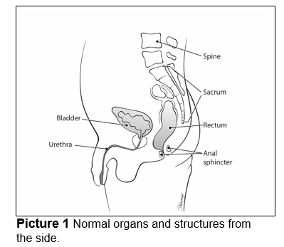 Normal organs and structures from the side.