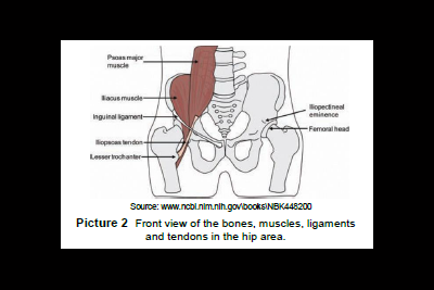 Front view of the bones, muscles, ligaments, and tendons in the hip area.