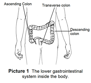 gastrointestinal system inside the body