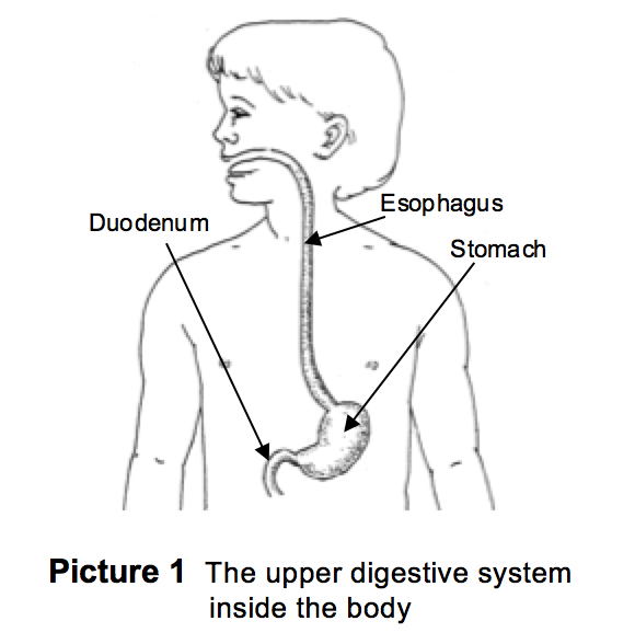 Upper digestive system inside the body