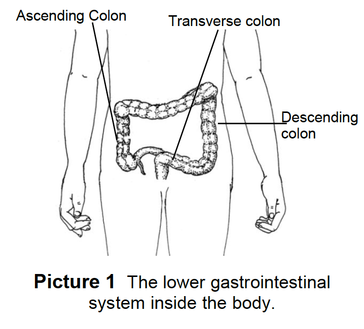 The lower gastrointestinal system inside the body