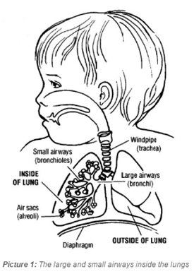 diagram of large and small airways in lungs