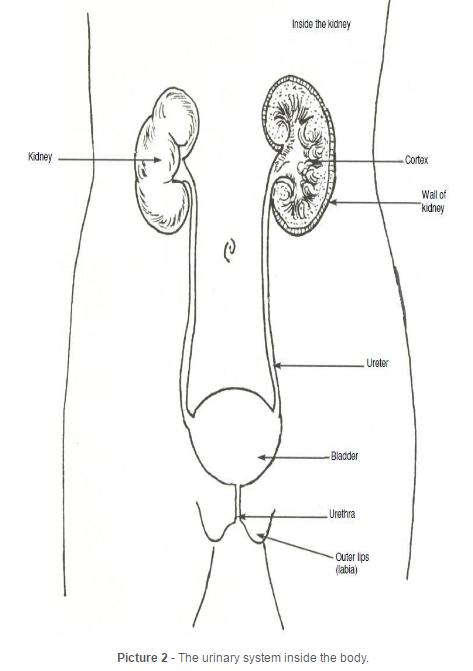 Body System Urinary Female