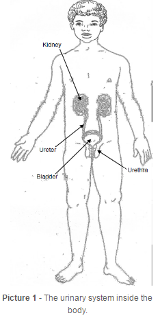 diagram of internal male urinary system