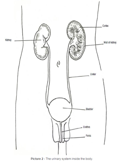 diagram of male urinary system
