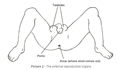 diagram of male external reproductive organs