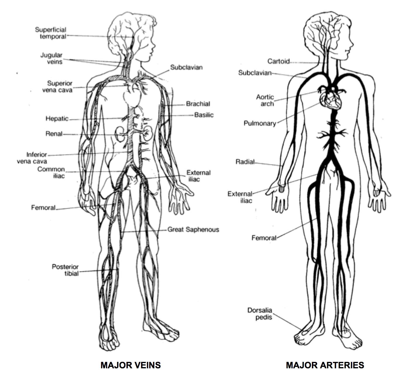 major veins and arteries in the human body