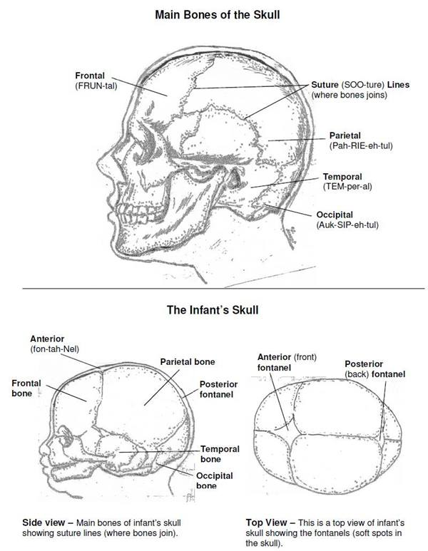 diagram of adult and infant skull