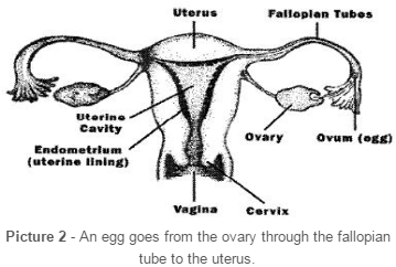 the reproductive organs