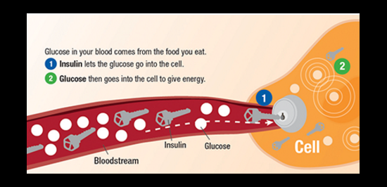 Depiction of insulin as a key that allows glucose into the cell to give energy