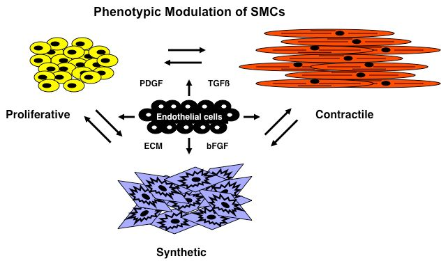 Brenda Lilly Lab phenotypic modulation of SMCs