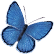 medium blue butterfly
